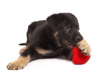 Puppy holds heart in paws Royalty Free Stock Photography