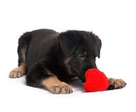 puppy holds heart in paws Royalty Free Stock Photo