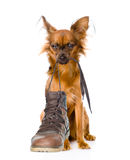 Puppy holds shoes in the teeth. on white background stock photography