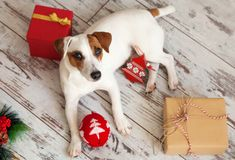 Dog at christmas decoration stock photos