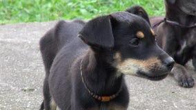 Puppy, Honden, Hoektanden, Huisdieren, Dieren stock footage