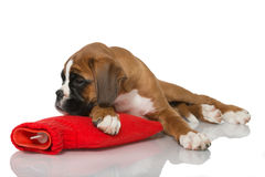 Puppy with hot water bottle Royalty Free Stock Images