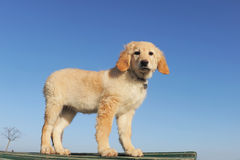 Puppy hovawart Royalty Free Stock Photo