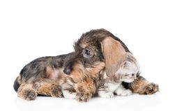 Puppy hugging kitten. isolated on white background Royalty Free Stock Photo