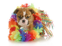 Puppy hula dancer Royalty Free Stock Photos