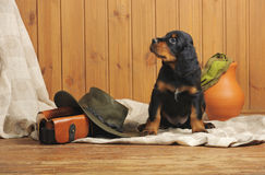 Puppy and hunting accessories Stock Photo