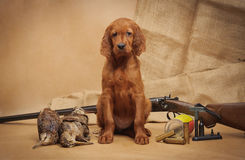 Puppy and hunting accessories Stock Photography
