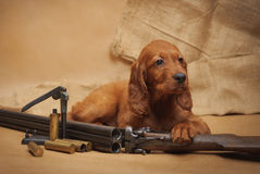 Puppy and hunting accessories Royalty Free Stock Photo