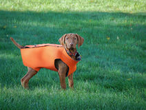 Puppy in hunting vest. Puppy in oversized hunting vest Stock Photos