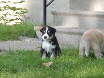 Puppy husky stock image