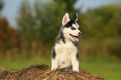 Puppy husky with  different color eyes sitting on the dry grass Royalty Free Stock Images