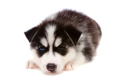 Puppy a husky, isolated. Stock Photo