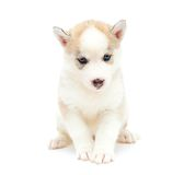 Puppy a husky, isolated. Royalty Free Stock Photography