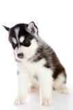 Puppy a husky, isolated. Stock Photos