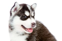Puppy a husky, isolated. Stock Image