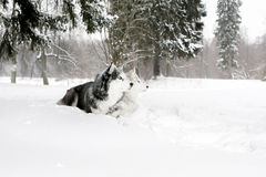 Puppy husky and Samoyed lying in the snow Royalty Free Stock Image