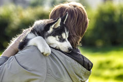 Puppy husky on the shoulder of the master Stock Photography