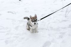 puppy husky in the Siberian forest Royalty Free Stock Images