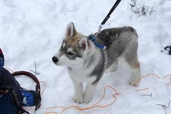puppy husky in the Siberian forest Royalty Free Stock Photos