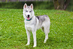 The puppy husky, standing on a grass Stock Image