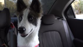 Puppy Husky is waiting for owner in car. A young Husky puppy is waiting for the owner in the car. Transportation of animals stock video footage