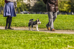 Puppy husky walking along the road at the feet of the master Royalty Free Stock Photos