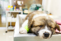 Puppy ill and sleep on operating table. Cute puppy(Thai Bangkaew Dog) ill and sleep on operating table in veterinarians clinic Royalty Free Stock Images