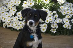 puppy portrait Stock Image