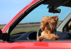 Puppy In A Car Window. Stock Photography