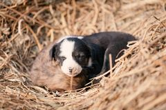 Puppy of indian domestic dogIndian pariah dog. Cute puppy of indian domestic dog Indian pariah dog resting in sunlight over soil Royalty Free Stock Images