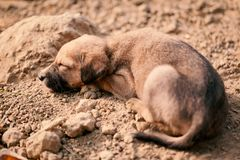 Puppy of indian domestic dogIndian pariah dog. Cute puppy of indian domestic dog Indian pariah dog resting in sunlight over soil Royalty Free Stock Photography