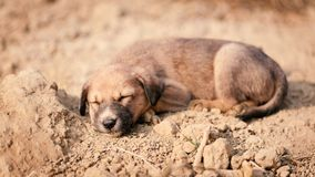 Puppy of indian domestic dogIndian pariah dog. Cute puppy of indian domestic dog Indian pariah dog resting in sunlight over soil Stock Photos