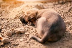 Puppy of indian domestic dogIndian pariah dog. Cute puppy of indian domestic dog Indian pariah dog resting in sunlight over soil Stock Photography