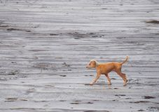 Puppy of an Indian Pariah Dog walking on a Beach... royalty free stock photos