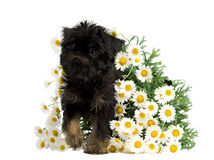 Puppy inside the bunch of Daisies Royalty Free Stock Photography