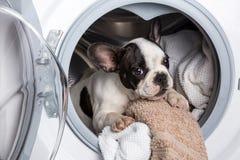Puppy inside the washing machine. French bulldog puppy inside the washing machine Stock Image