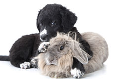 Puppy interacting with a rabbit over white Royalty Free Stock Image