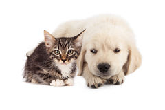 Puppy irritated with kitten Stock Image