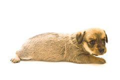 Puppy isolated. Single puppy isolated on white background Stock Images