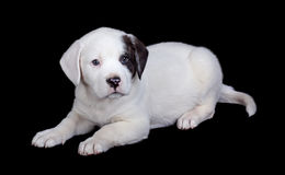 Puppy Isolated on Black Stock Photos