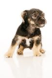 Puppy Isolated isolated on white Stock Images