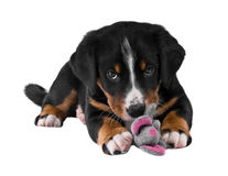 Puppy isolated on white. Puppy sennenhund appenzeller and toy mouse Royalty Free Stock Photos