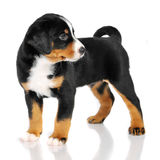 Puppy isolated on white. Puppy sennenhund appenzeller isolated on white Royalty Free Stock Photography
