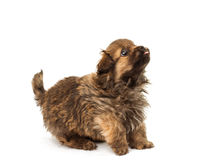 Puppy isolated Royalty Free Stock Photos
