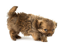 Puppy isolated Royalty Free Stock Photo