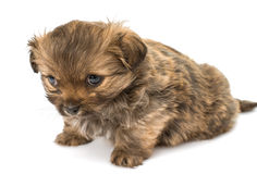 Puppy isolated Stock Photo