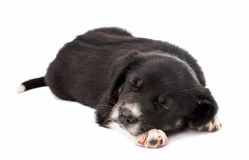 Puppy isolated Stock Images