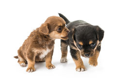 Puppy isolated Stock Photos