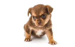 Puppy isolated Stock Photo
