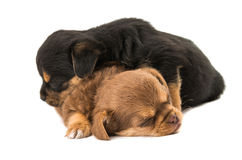 Puppy isolated Royalty Free Stock Image